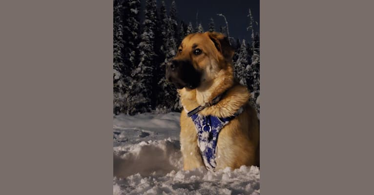 Photo of Elroy, a Great Pyrenees, Caucasian Ovcharka, and German Shepherd Dog mix in North Pole, Alaska, USA