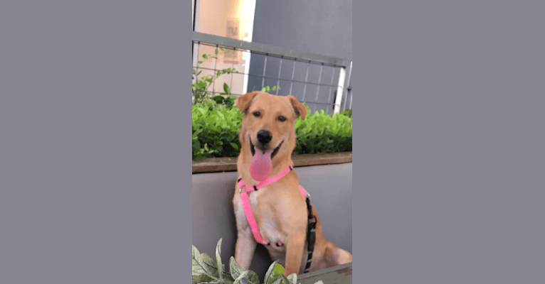Photo of Abby, an American Pit Bull Terrier, Chinese Shar-Pei, Siberian Husky, and German Shepherd Dog mix in Houston, Texas, USA
