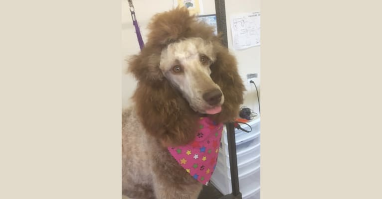 Photo of Mocha, a Poodle (Standard)