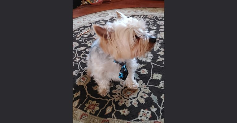 Photo of Maximus, a Yorkshire Terrier and Silky Terrier mix in Rhode Island, USA