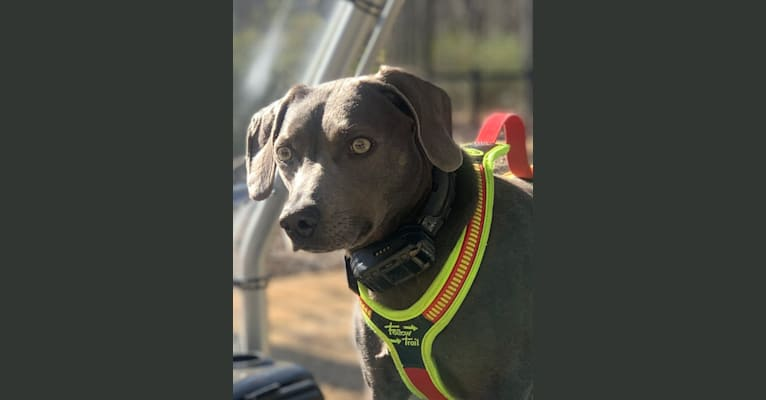 Photo of Lacy Grace Goodwin, a Blue Lacy  in Tyler, TX, USA