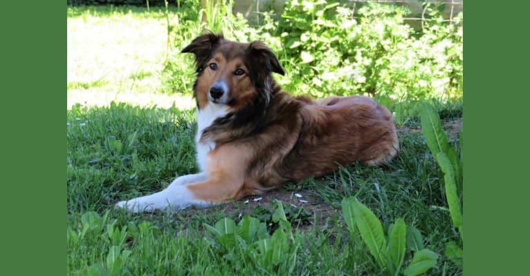 Photo of Pixie, an English Shepherd
