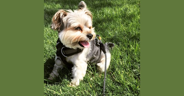 Photo of Max, a Yorkshire Terrier and Biewer Terrier mix in Santa Ana, California, USA