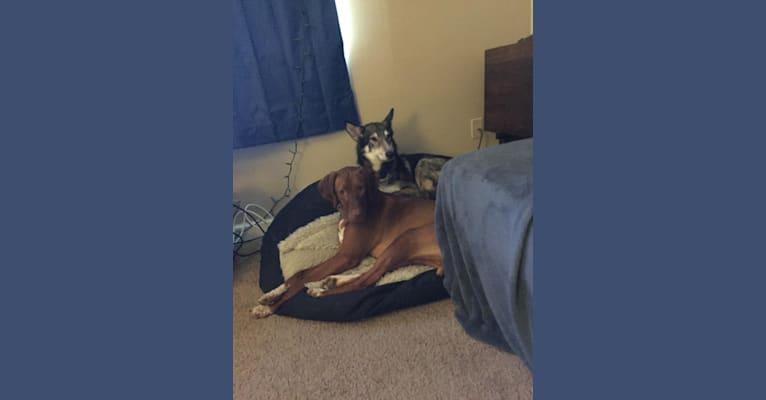 Photo of Kaya, a German Shepherd Dog and Alaskan Malamute mix
