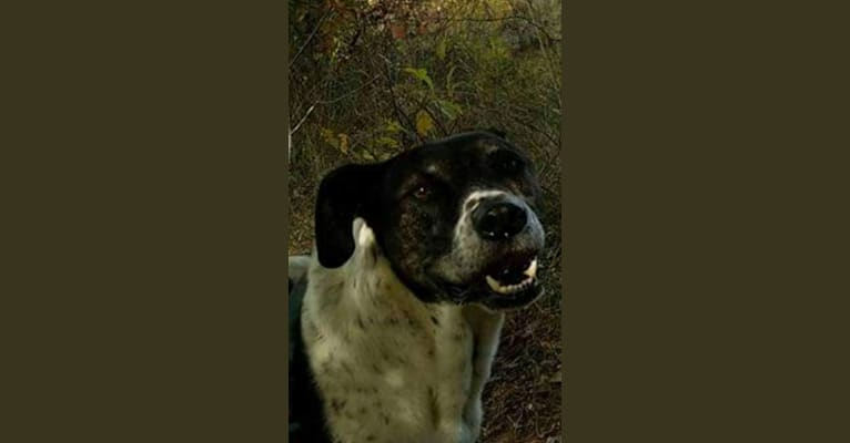 Photo of Buddy, an American Pit Bull Terrier, Catahoula Leopard Dog, German Shepherd Dog, Chow Chow, and Labrador Retriever mix in Georgia, USA