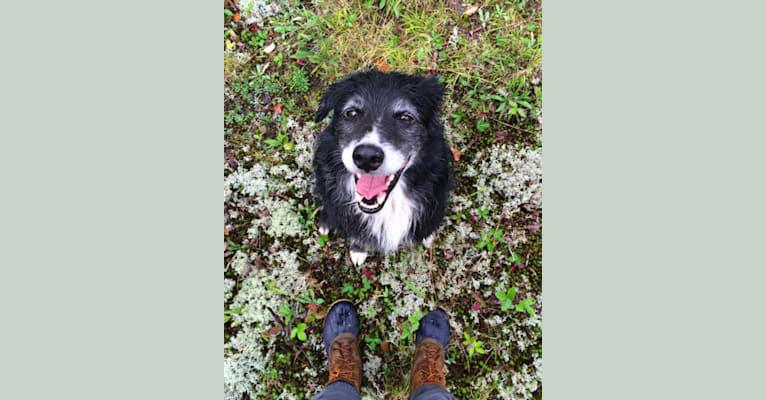 Photo of Jasper, an Australian Shepherd and Border Collie mix in Ohio, USA