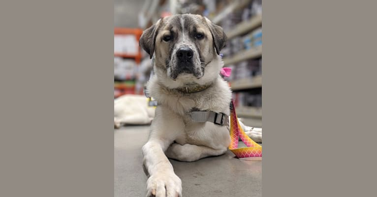 Photo of Bee (Beetrice Anne), a Great Pyrenees, Boxer, American Pit Bull Terrier, and Chinese Shar-Pei mix in Riner, VA, USA