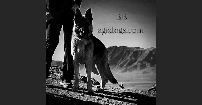 Photo of BB, a German Shepherd Dog  in Serbia