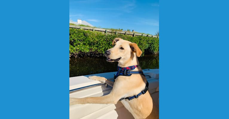 Photo of Colt, an American Foxhound, German Shepherd Dog, Siberian Husky, and American English Coonhound mix in Bradenton, Florida, USA