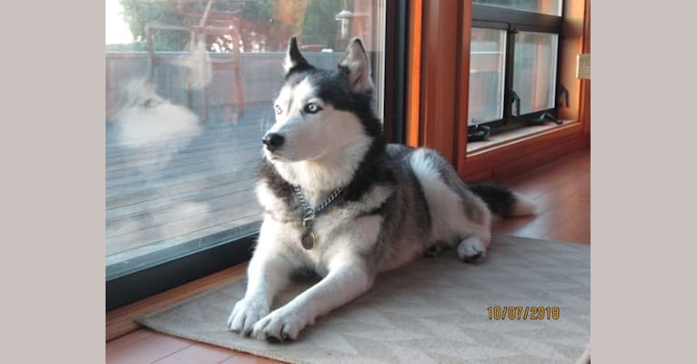Photo of Nala, a Siberian Husky  in Sacramento, California, USA