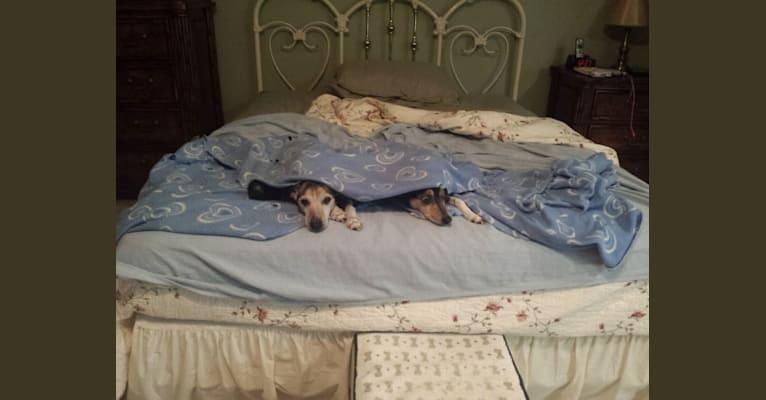 Photo of Milo, a Rat Terrier  in Orlando, Florida, USA