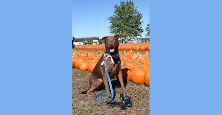 Photo of Hunter, a Staffordshire Terrier and German Shepherd Dog mix in Farmington, Missouri, USA