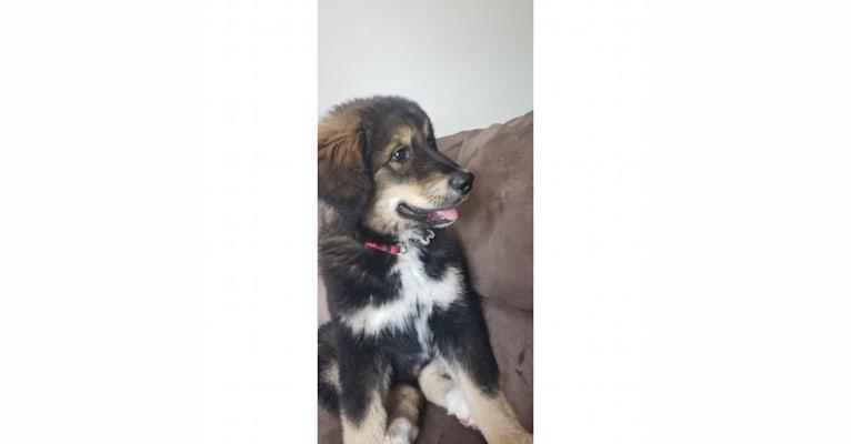 Photo of Athena, an Alaskan Malamute and Bernese Mountain Dog mix in Girard, Ohio, USA