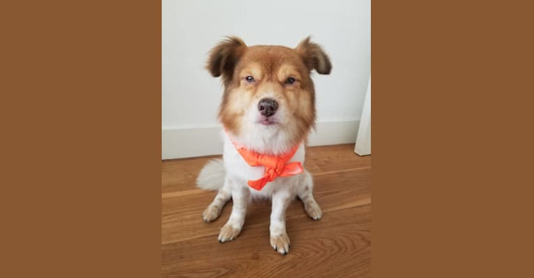 Photo of Lin Lin, an East Asian Village Dog and Pekingese mix