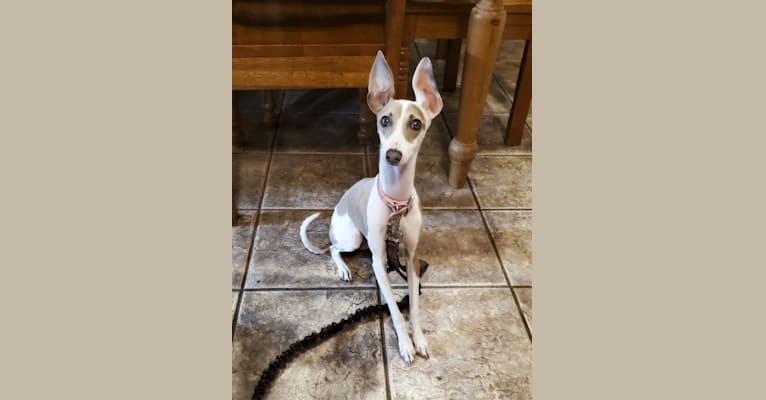 Photo of Lyric, an Italian Greyhound  in Missouri, USA