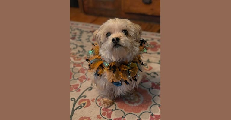 Photo of Finnegan, a Shih Tzu and Yorkshire Terrier mix in Ann Arbor, Michigan, USA