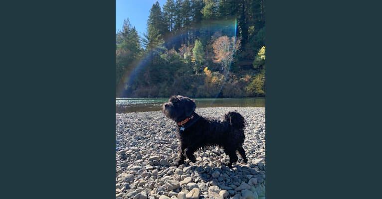 Photo of Georgie, a Poodle (Small), Shih Tzu, Chihuahua, and Mixed mix in El Cerrito, California, USA