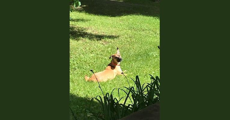 Photo of Brody, an American Pit Bull Terrier, German Shepherd Dog, and Australian Shepherd mix in Brooklyn Park, Maryland, USA