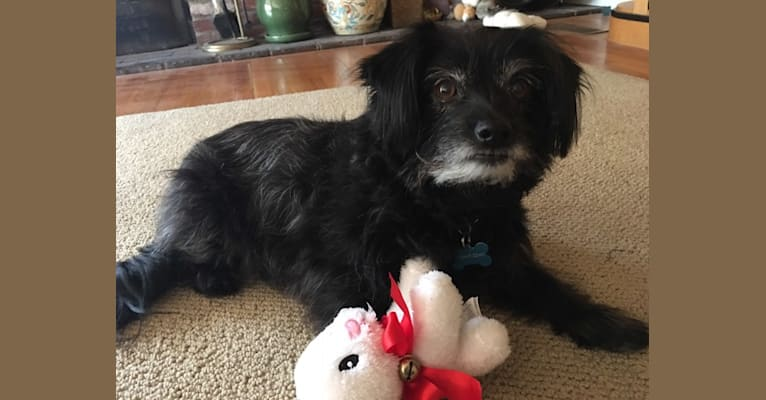 Photo of Brady, a Chihuahua, Poodle (Small), West Highland White Terrier, and Pomeranian mix in Downey, CA, USA