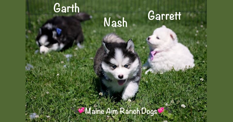 Photo of Nash, a Pomsky  in Maine Aim Ranch, King, Allerton, IA, USA