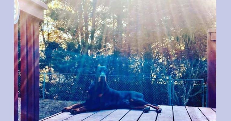Photo of Jager, a Doberman Pinscher  in Georgia, USA