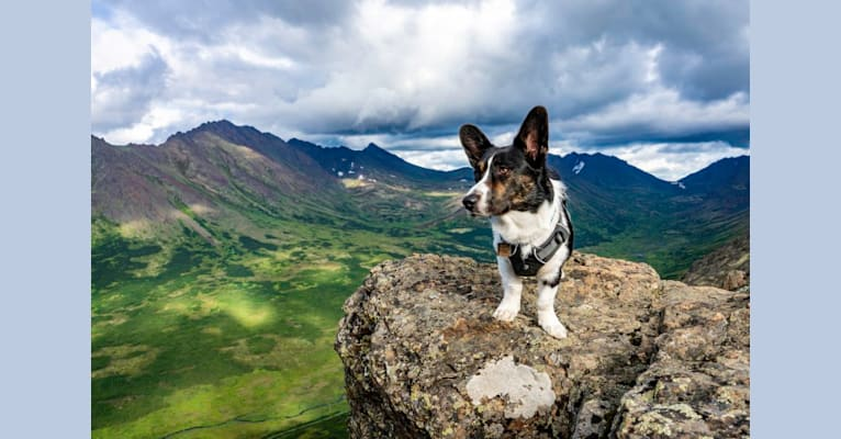 Photo of Quill, a Cardigan Welsh Corgi  in Arizona, USA