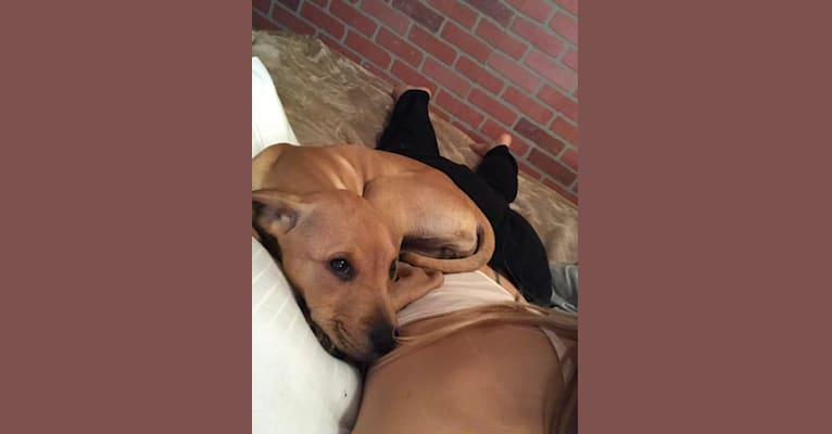 Photo of Camille <3, an American Pit Bull Terrier, Boxer, Chow Chow, and Mixed mix