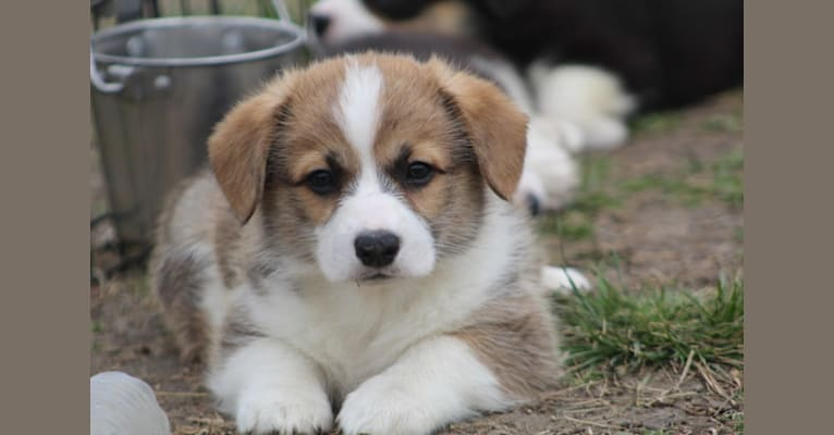 Photo of Colt, a Pembroke Welsh Corgi