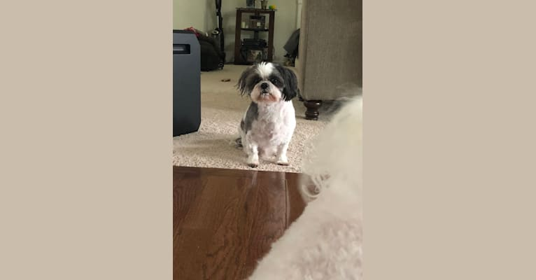 Photo of Harvey, a Shih Tzu  in Florida, USA