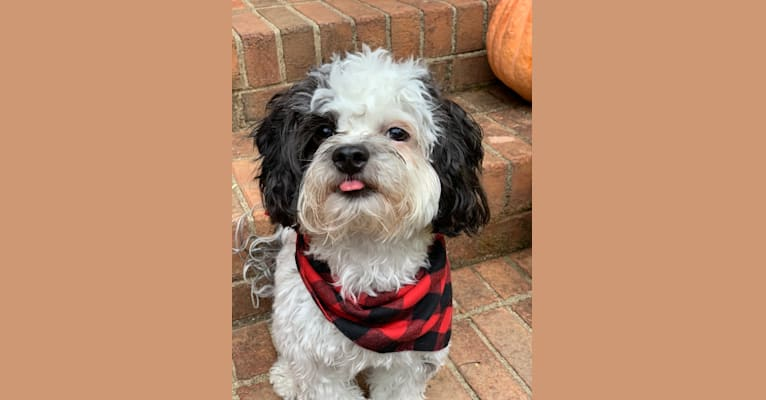 Photo of Leo, a Shih Tzu and Poodle (Small) mix in El Dorado Hills, California, USA