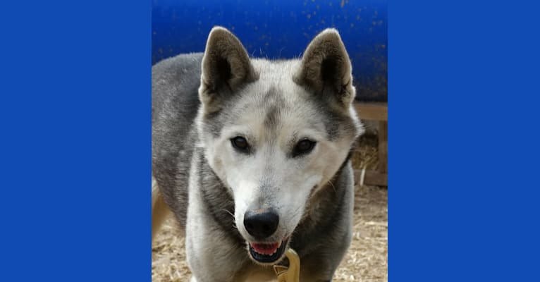 Photo of Red Wing, a Siberian Husky  in St Ignace, Michigan, USA