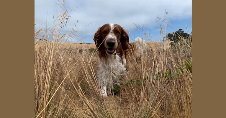 Photo of Hobbes, a Welsh Springer Spaniel  in Perris, CA, USA