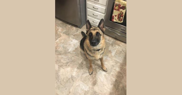 Photo of Sadie, a German Shepherd Dog  in Franklinton, NC, USA