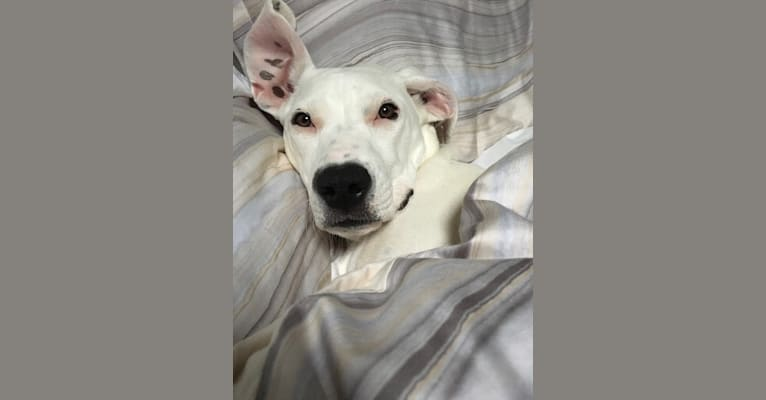 Photo of Luna, an American Pit Bull Terrier, American Foxhound, and Rottweiler mix in Raleigh, North Carolina, USA