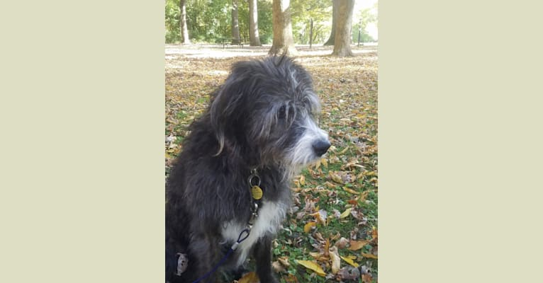 Photo of Jezzy, a Boxer and Old English Sheepdog mix in Grand Rapids, Michigan, USA