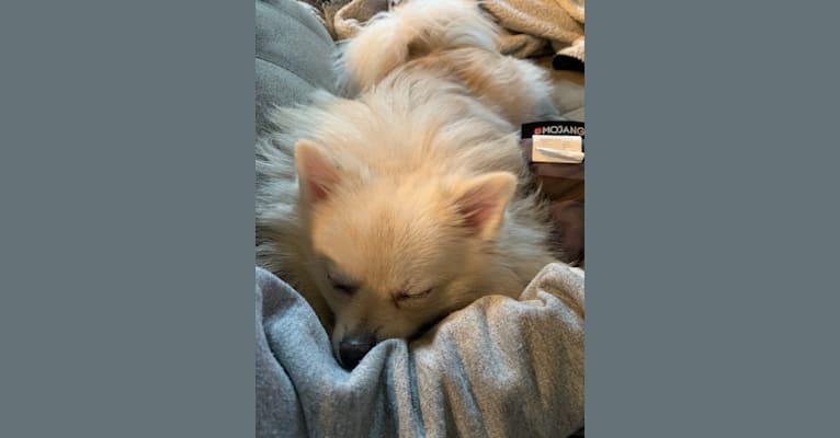 Photo of Koda, a Pomeranian  in Loranger, LA, USA