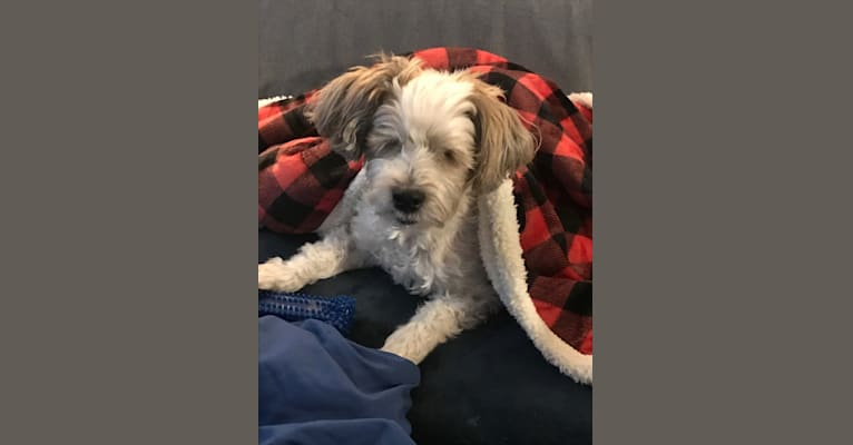 Photo of Nash, a Poodle (Small), Yorkshire Terrier, Bichon Frise, Maltese, and Mixed mix in Milwaukee, Wisconsin, USA