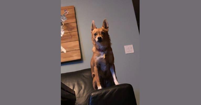 Photo of Alabama Hannah, a Chihuahua, Rat Terrier, American Eskimo Dog, and Mixed mix in Alabama, USA