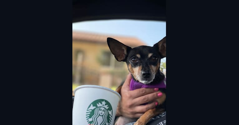 Photo of Chichi, a Chihuahua and Miniature Pinscher mix in Los Angeles, California, USA
