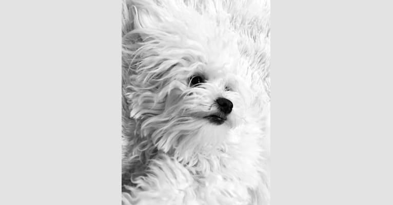 Photo of Zoe, a Maltese  in Texas, USA