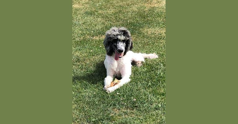 Photo of Poppy, a Poodle (Standard)