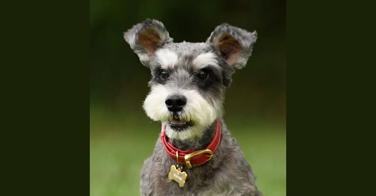 Photo of Dickson, a Miniature Schnauzer  in Kaohsiung City, Taiwan