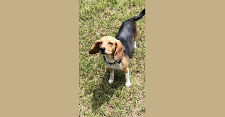 Photo of Maggie, a Beagle  in Hinesville, GA, USA