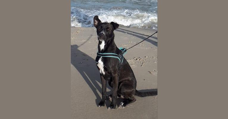 Photo of Joey, an American Pit Bull Terrier, German Shepherd Dog, and Mixed mix in Kreta, Griekenland