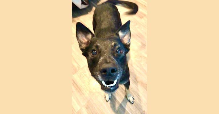 Photo of Simone, a German Shepherd Dog, Australian Cattle Dog, Border Collie, and Mixed mix in Napa, California, USA
