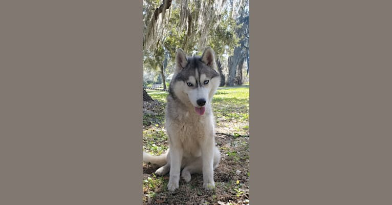 Photo of Jewel, a Siberian Husky