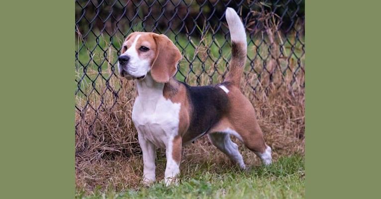 Photo of Madison, a Beagle  in Snohomish, WA, USA