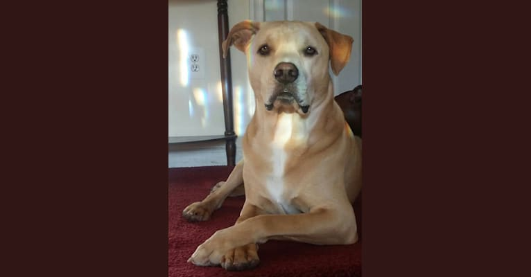 Photo of Archie, an American Pit Bull Terrier, Labrador Retriever, Rottweiler, Chow Chow, and Mixed mix in Georgia, USA