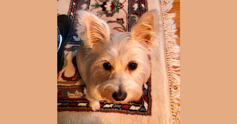Photo of Bunny, a Miniature Schnauzer, Chihuahua, and Dachshund mix in Georgia, USA
