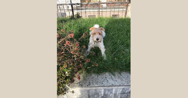 Photo of Trudy, a Wire Fox Terrier  in Peterborough, UK